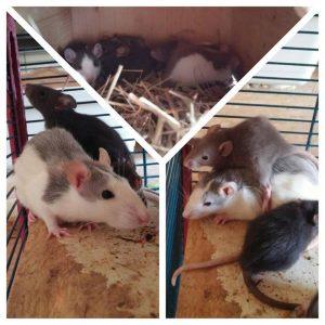 Ratten Familie