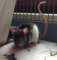 13 Rattenjungs