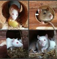 Ratten Mädels