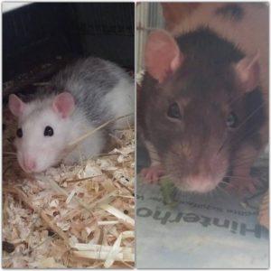 Ratten Mädels Foto