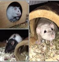3 Rattis Foto